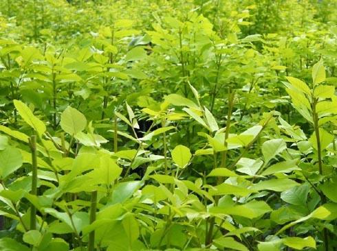 白蜡价格迅速成长叶子极佳的光泽