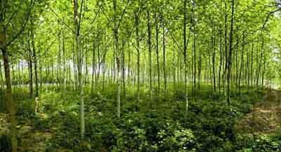 白蜡价格最宜在酸性富含腐殖质土壤