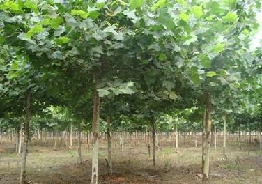 白蜡价格密植对常绿树体紧靠的部位