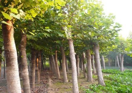 白蜡价格夏末施肥根系生长最好