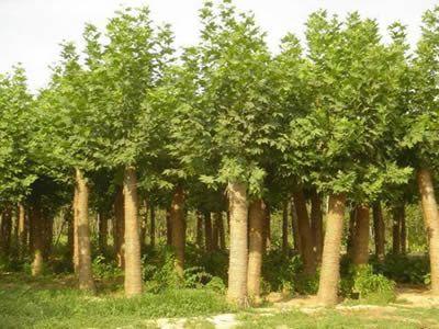 白蜡粗壮的树枝灰质朴的板状树皮粗糙
