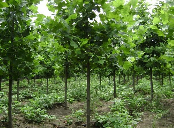 白蜡价格叶绿叶绿素在秋季分解和所使用的树