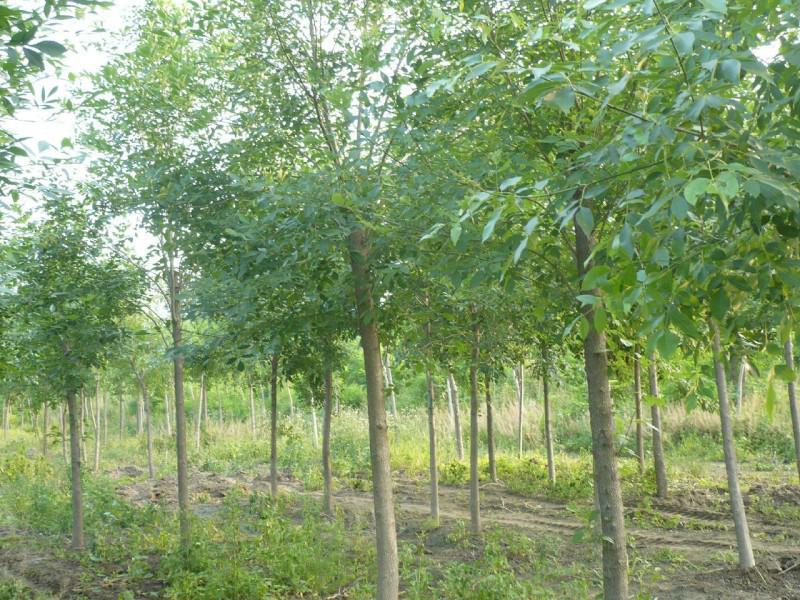 白蜡优异的小型单或多茎树