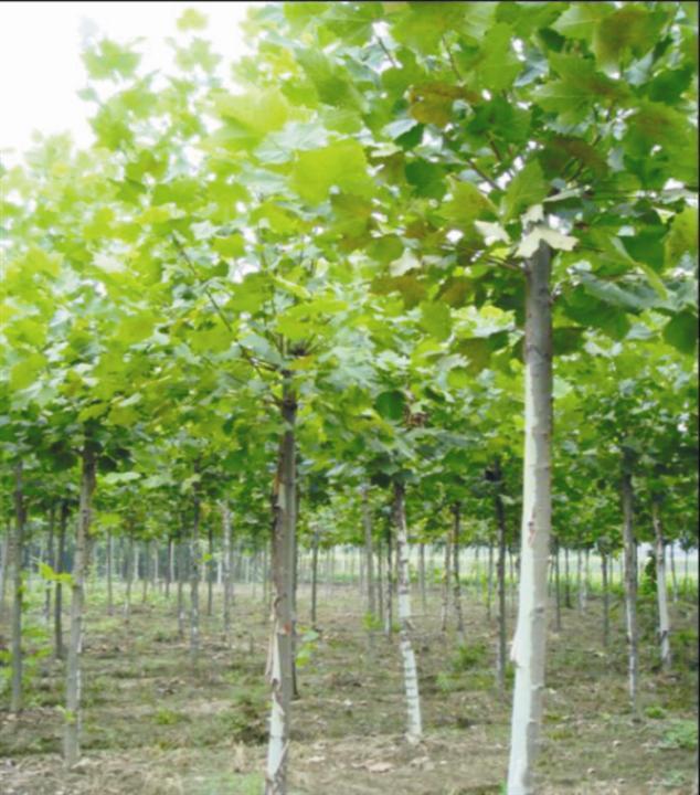 白蜡创建树荫强烈的高温和干旱下