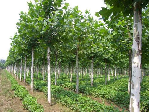 白蜡河岸的树快速增长浅根性