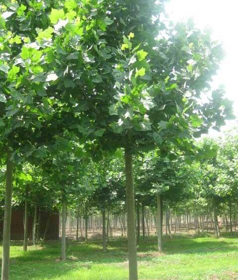 白蜡树枝像标准平原绿化叶