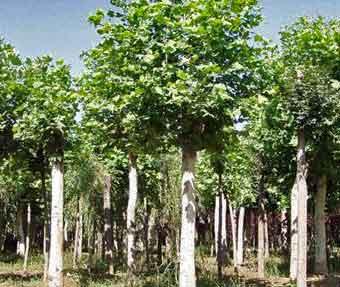 白蜡价格和常绿栎物种可能并肩成长