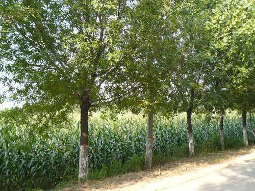 白蜡树保持绿色秋季鲜艳的色彩