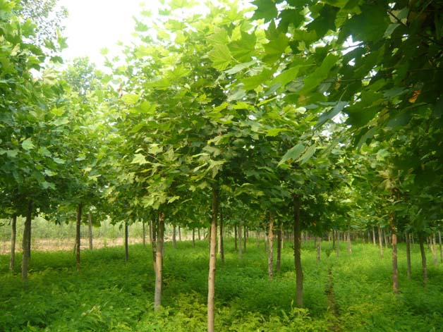 白蜡价格土壤提供了肥沃的农田