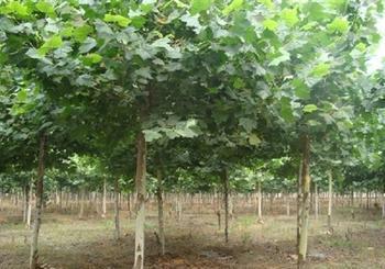 白蜡价格最高阔叶树原始森林增长