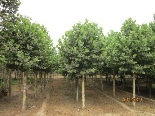 白蜡价格生长在半阴影区树丛里