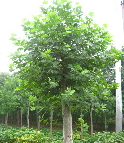 白蜡价格季节性雨林植被保持常绿