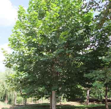 白蜡价格中等绿叶质地优良分枝习性
