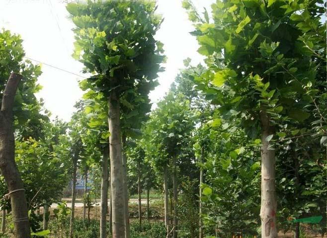 白蜡价格珍稀植物常绿灌木