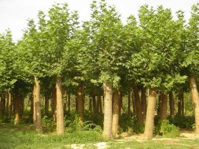 白蜡价格雄伟壮丽优秀的绿化树种