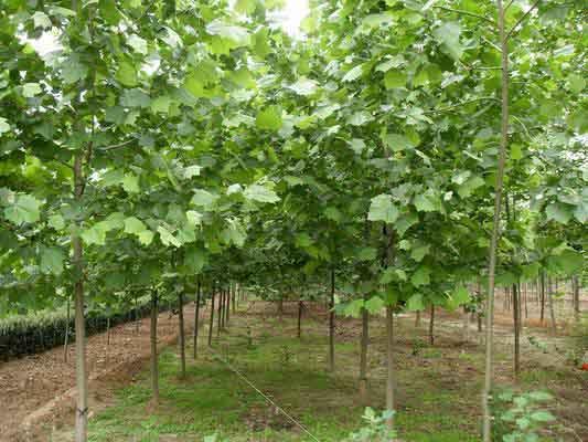 白蜡价格应控制灌水和施肥