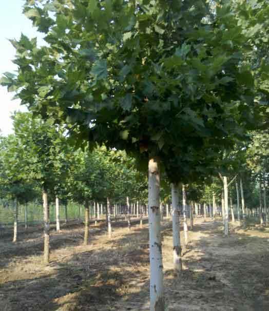 白蜡价格苗木旺盛生长对养分的大量需求