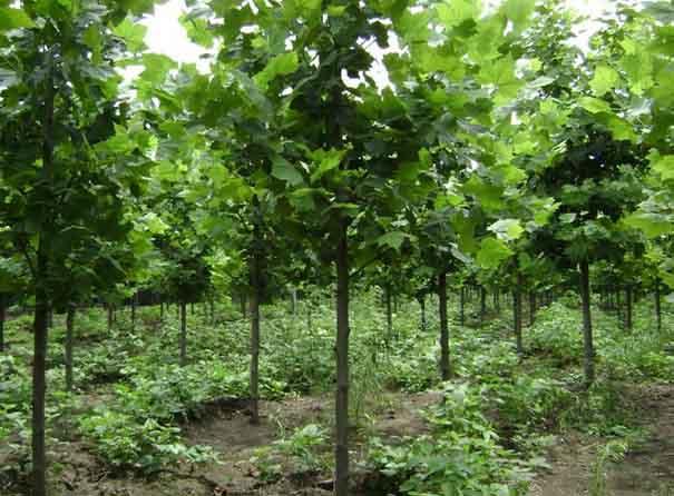 白蜡价格树姿优美快速生长成株粗放
