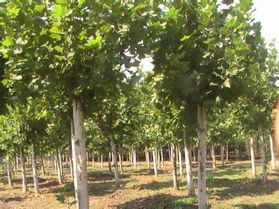 白蜡价格种子繁殖花丝淡红色荚果条状