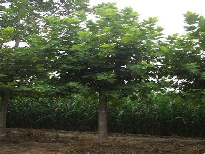 白蜡价格伴生树种及花灌木采用标准