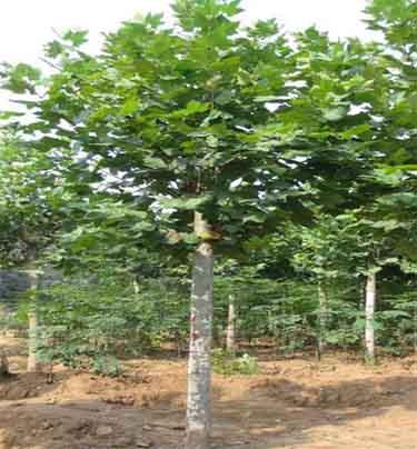 白蜡价格春苗木栽植后应及时浇水