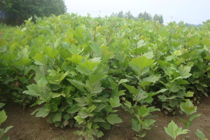 白蜡价格枝蔓发育充实芽饱满根系发达