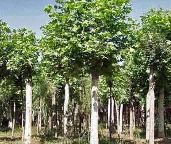白蜡价格冬芽并积累营养根系和直径继续生长