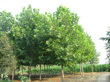 白蜡价格密植的常绿树紧靠的部位
