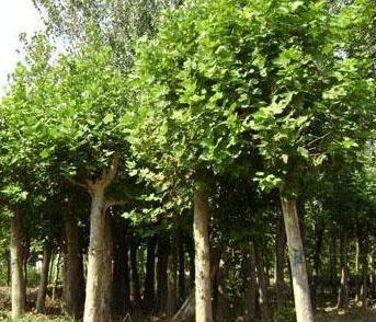 白蜡价格栽植成活率很高树桩盆