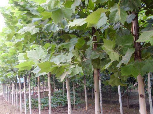 白蜡价格三本式开心形树体