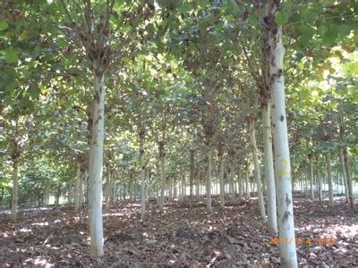 白蜡价格土穴移出苗木开好斜坡口