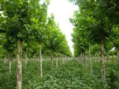 白蜡价格自然高度植栽要求