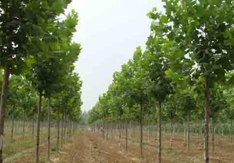 白蜡价格定植沟埋施肥薄肥原则