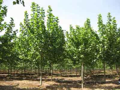 白蜡价格耐盐碱苗抗性强的乡土苗木