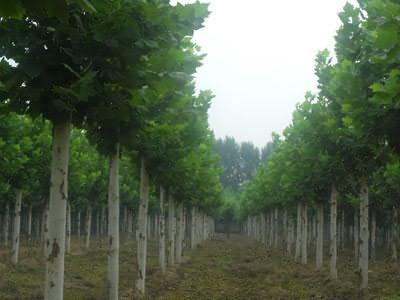 白蜡价格栽植形式以田间路边防护林