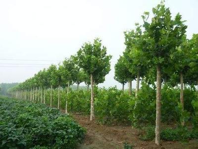 白蜡价格栽植工程和栽植成活率验收间观感
