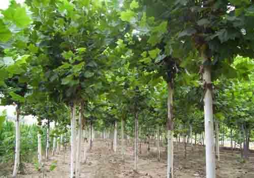 白蜡价格每平方米留75株苗的地径