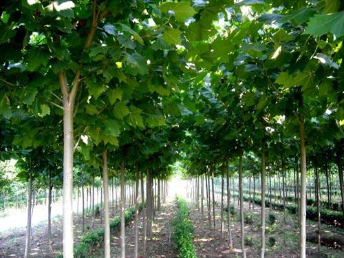 白蜡价格培育宜进行大苗定植