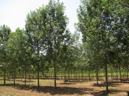 白蜡价格标准苗木自然高度净干高