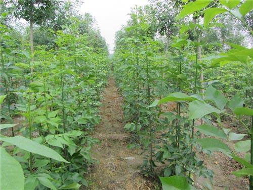 白蜡价格微碱性土壤黏重幼苗发病多亦重