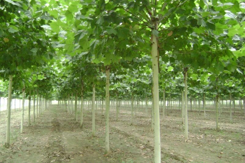 白蜡价格经过移植促使形成发达的根系