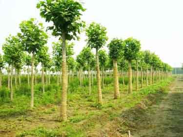 白蜡价格园林植物的果实来源结构