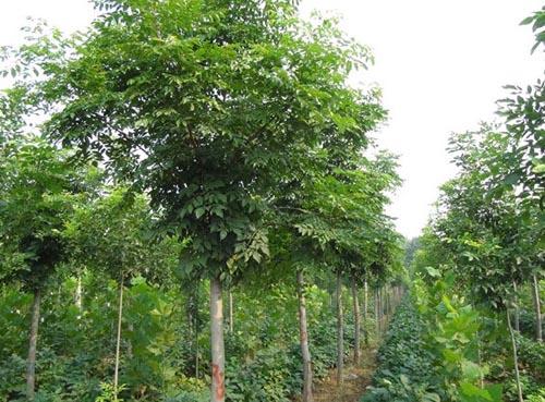白蜡价格栽培地区的生态因子与产地间存在