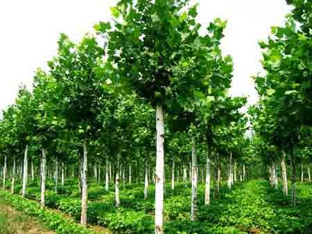 白蜡价格确定适宜的栽植密度
