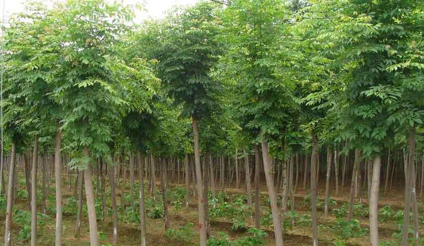 白蜡轮生枝明显的常绿乔木人苗培育