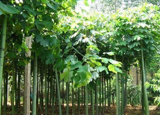 白蜡多树形低矮树冠扩展多为塔形