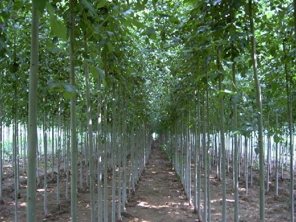 白蜡适当密植苗期顶端优势强盛