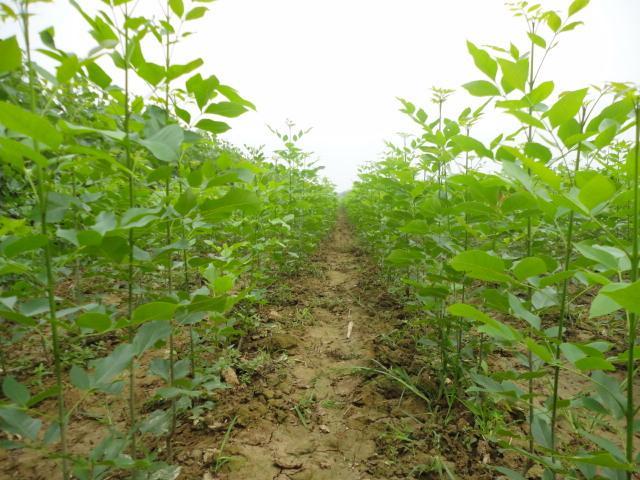白蜡播种苗木生长根系发达