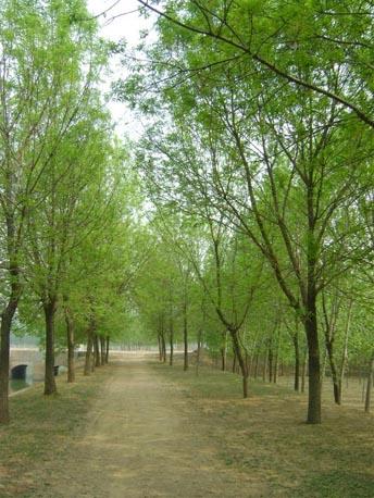 白蜡株距人行道上用以遮阴乔木
