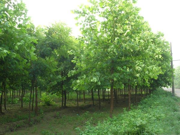 白蜡植株高大二年生花卉栽培